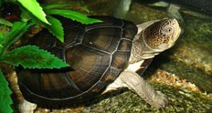 East African Black Mud Turtle Care: a Herpetologist's Thoughts