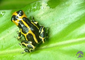 imitator frog