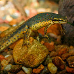 Do Newts and Salamanders Make Good Pets?  Five Points to Consider