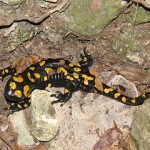 "2014 is Named ""The Year of the Salamander"""
