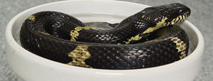 Rat Snake Care: the Russian Ratsnake – Large, Bold and Beautiful