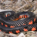 Rainbow Snake Care: Keeping a Colorful but Difficult Aquatic Snake