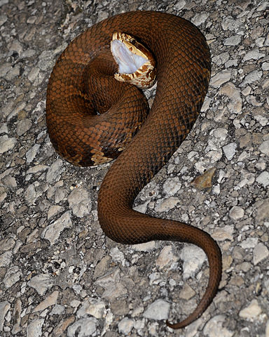venomous snakes care of cottonmouth or water moccasin