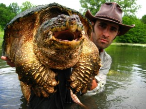 55 lb. Snapping turtle