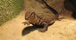 Monitor Lizards as Pets: Dumeril Monitor Care and Natural History