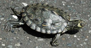 Barbour's Map Turtle Care and Natural History