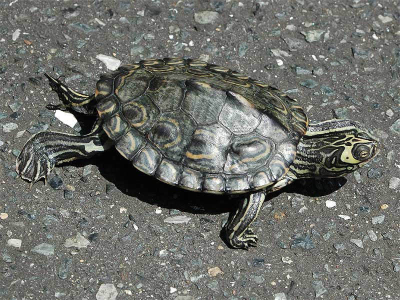 Baby map turtle care red eared slider map and painted turtles semi