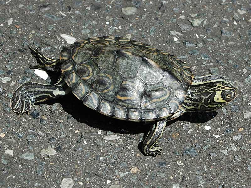 florida map turtle care