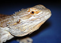 My Bearded Dragon is Not Eating: What to Do