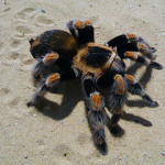 Tarantulas:  Are They The Right Pet for You?