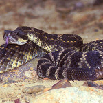 Most Dangerous Snake in USA? Rattlesnake Study Provides Clue
