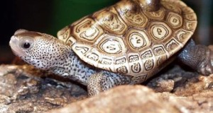 Diamondback Terrapin Care: Keeping the USA's Most Unique Turtle