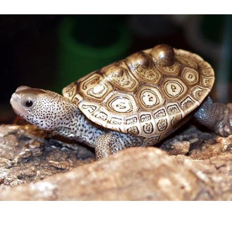 Diamondback Terrapin Care That Reptile Blog