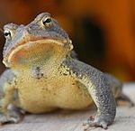 Pet Toads:  Best Choices for Kids or First Time Pet Owners