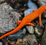I Found an Orange Salamander: Is it a Red Eft and Does it Make a Good Pet?