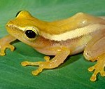 Frog Facts: First Discovery of Egg Care by a Southeast Asian Treefrog