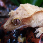 The Best Substrate for Crested Gecko Terrariums: Avoiding Impactions