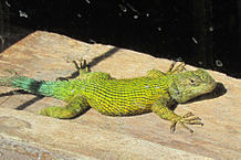 Pet Lizards: Large, Small, and Colorful Insectivores