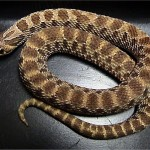 Western Hognose Snake: Care, Color Morphs and Natural History