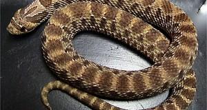 Western Hognose Snake: Care, Color Morphs and Natural History