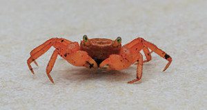 Vampire Crab Care: 2 New Land Crab Species Found Among Pet Trade Animals