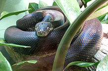 Savu Python Care: Keeping One of the World's Smallest Pythons