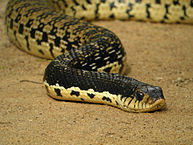 Hognose Snake:  Breeding and Care for the Madagascar Giant