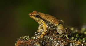 Endangered Species Notes: Missing Frogs Found, Others Feared Extinct