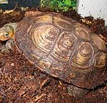 Pet Turtles: Ornate Wood Turtle Care and Breeding