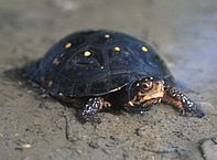 Spotted Turtle Care: Is This Beauty the Perfect Small Turtle Pet?