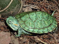 Is a Red-Eared Slider a Good Pet?  Read This Before Buying a Turtle