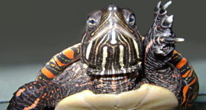 Eastern Painted Turtle Care: Keeping the USA's Most Beautiful Turtle