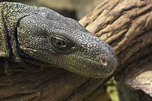 Monitor Lizard Ownership: Important Points to Consider