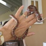 Corn Snake or Ball Python? Choosing the Best Snake Pet