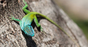 Anole Lizard Care, Facts & Behavior