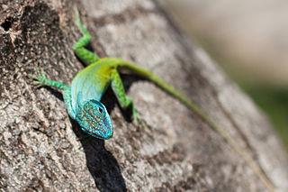 anole lizard care facts behavior that reptile blog