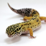 What Do Leopard Geckos Eat? – An Ideal Diet Based on Zoo Research