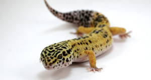 My Leopard Gecko Is Not Eating:  What To Do
